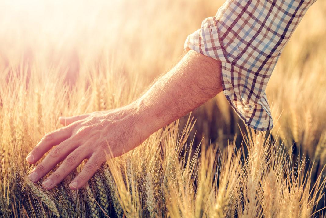 campo grano con mano